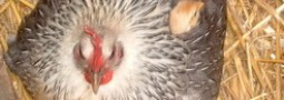 température de couvaison d'une poule