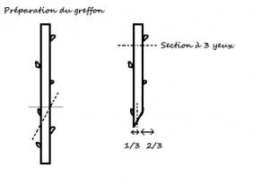 greffe3