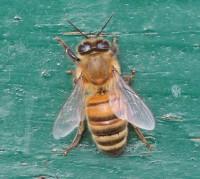 abeille_0499
