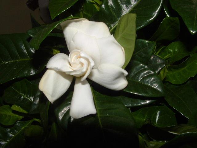 fleur gardenia