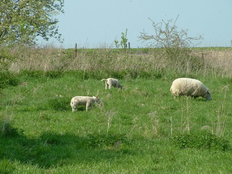 mere et agneaux