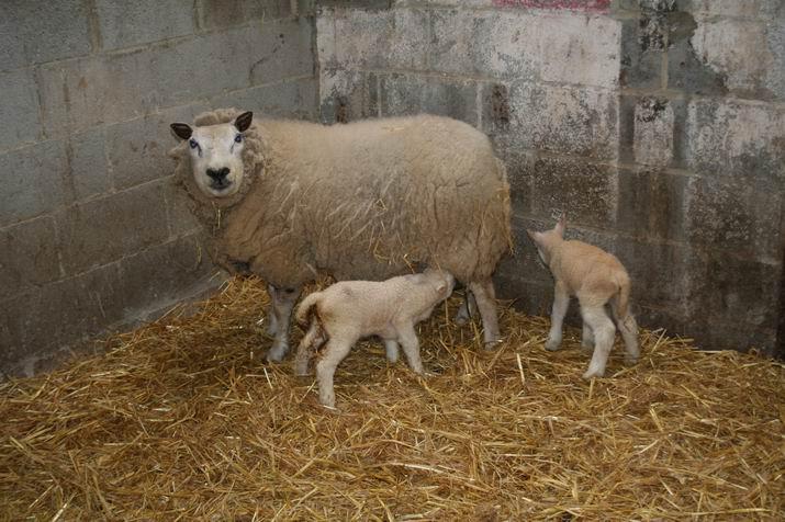 agneaux 2009