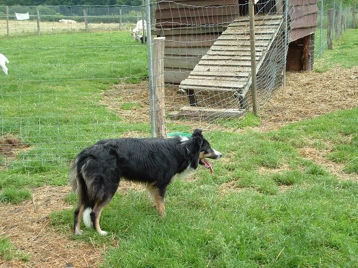 chien de troupeau
