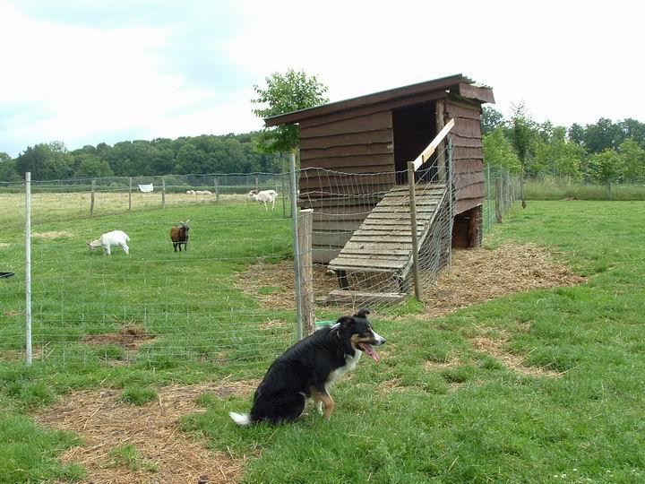 chien de troupeau 2