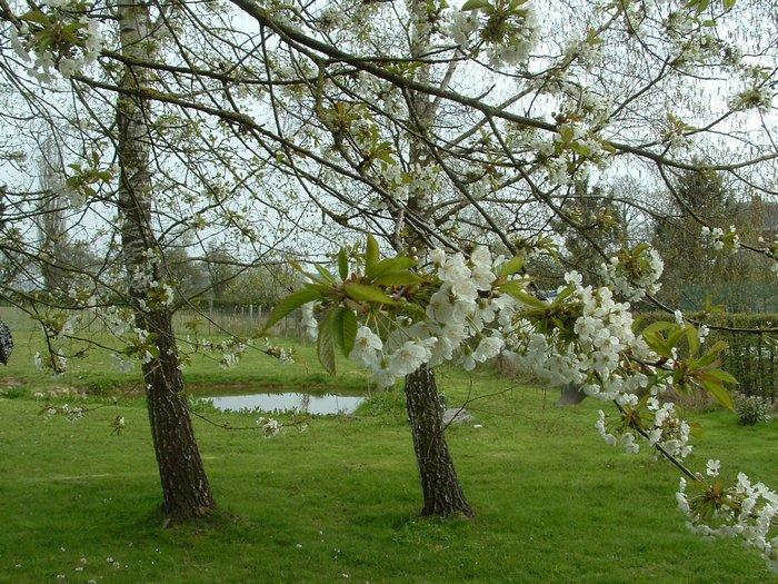 700_cerisier fleuri