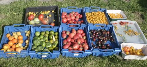tomates_1630.jpg