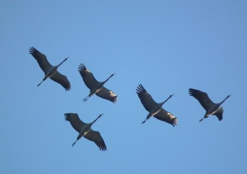 grues en vol