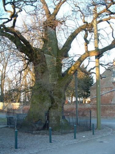 chene Liernu,vieux chêne,arbre remarquable
