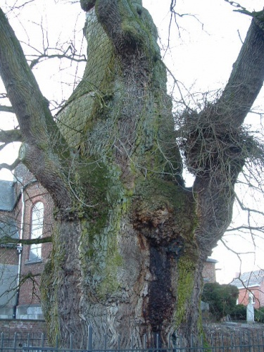 arbre remarquable,liernu ,chene liernu